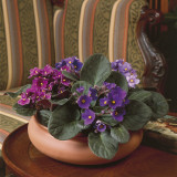 Close-Up of an African Violet Plant (Saintpaulia Ionantha) Reproduction photographique par G. Cigolini