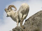 Alaska, Anchorage, Precarious Perch: 50,000 Dall Sheep Call Alaska Home Photographic Print by Bill Roth