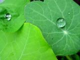 Nasturtium with Waterdrops 写真プリント : クラウディア・プロプスト