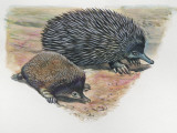 Close-Up of a Short-Beaked Echidna with its Young (Tachyglossus Aculeatus) Fotografie-Druck