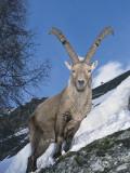 Alpine Ibex Standing on a Mountain, Gran Paradiso National Park, Valle D'Aosta, Italy (Capra Ibex) Fotografie-Druck von F. Liverani