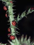 Seven Spot Ladybirds on a Stem (Coccinella Septempunctata) Photographic Print by Christian Ricci