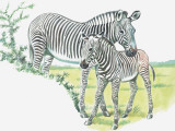 Close-Up of a Burchells Zebra with its Colt in a Field (Equus Burchelli) Photographic Print