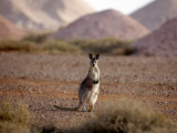 Kangaroo in Opal Mining Area in Coober Pedy in the South Australian Outback Fotografisk tryk af Chris Mclennan