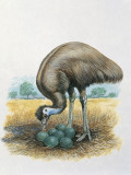 Close-Up of a Male Emu Standing Near Eggs Reproduction photographique