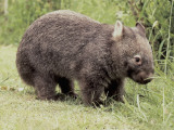 Close-Up of a Common Wombat (Vombatus Ursinus) Photographic Print