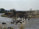 Herd of Blue Wildebeest Crossing a River, Mara River, Kenya (Connochaetes Taurinus) Fotoprint av F. Galardi