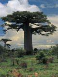 Baobab Trees in the Forest (Adansonia Madagascariensis) Fotografisk tryk