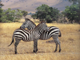Two Grant's Zebras in the Forest, Masai Mara National Reserve, Kenya (Equus Quagga Boehmi) Fotoprint av F. Galardi