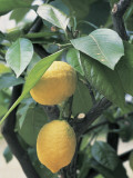 Close-Up of Two Lemons on a Branch (Citrus Limon) Photographic Print by F. Rotta
