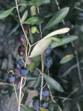 Close-Up of Leaves of an Olive Tree (Olea Europaea) with Fruits, Diano Marina, Liguria, Italy Impressão fotográfica por S. Montanari