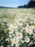 A Field of Chamomiles Photographic Print by Greger Norrevik