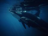 Killer Whale (Orcinus Orca) Vancouver Island, British Columbia, Canada Lámina fotográfica por Jeff Foott