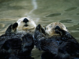 Sea Otters Lay on Back in Water Photographic Print by Jeff Foott