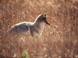 Coyote Walks in Field of Tall Grass Fotografie-Druck von Jeff Foott