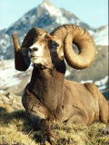 Bighorn Sheep Ram Sits on Grass Fotoprint van Jeff Foott