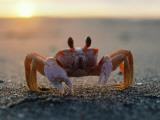 Fiddler Crab Sits on Beach Fotografisk tryk af Jeff Foott