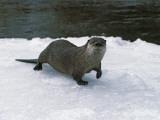 River Otter Walks on Snow Fotografisk tryk af Jeff Foott