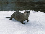 River Otter Walks on Snow Photographic Print by Jeff Foott