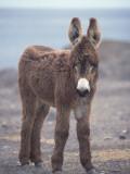 Young Wild Burro Fotografisk tryk af Jeff Foott