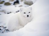 Arctic Fox Portrait Valokuvavedos tekijänä Jeff Foott