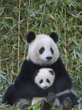 China, Sichuan Province, Wolong, Giant Panda Mother with 5-Month-Old Cub Photographic Print by Keren Su