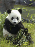 Tennessee, Memphis, a Giant Panda, on Loan to the Local Zoo, Enjoys a Snack of Bamboo Shoots Stampa fotografica di Karen Pulfer Focht
