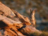 Coyote Stands on Rock Ledge Fotografie-Druck von Jeff Foott