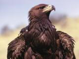 Profile of Golden Eagle Fotoprint av Jeff Foott