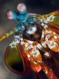 Peacock Mantis Shrimp Fotografie-Druck