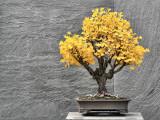 Autumn Bonsai Photographic Print by L. Toshio Kishiyama