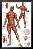 Système musculaire Affiches