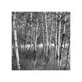 Birch Forest Giclée-tryk af Erin Clark