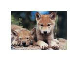 Spring Wolf Pups Gicléetryck av Art Wolfe