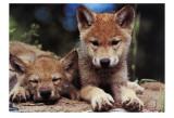 Spring Wolf Pups Posters av Art Wolfe