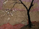 A Flowering Plum Tree Against a Wall Near Premium fototryk af Raymond Gehman