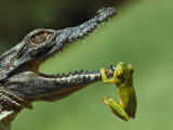 A Year-Old Nile Crocodile Snaps at a Frog, a Favorite Meal Fotografisk tryk af Jonathan Blair