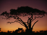 Silhouette of an Acacia Tree in Serengeti National Park Impressão fotográfica por George F. Mobley