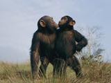 A Pair of Orphan Chimpanzees at the Tchimpounga Sanctuary Fotografisk tryk af Michael Nichols