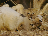 Asian Lions, Panthera Leo Persica, Mother and Cub Fotografisk tryk af Mattias Klum