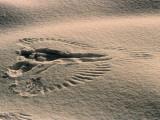 An Angelic Pattern of a Raven's, Corvus Corax, Landing Print in the Snow Fotografisk tryk af Bernd Heinrich