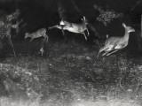 Deer Leap in Earliest Nighttime Flash Photography Shot Fotografisk tryk af George Shiras