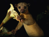 Kinkajou Holds a Blossom, Ready for its Head Diving Eating Technique Fotografisk tryk af Mattias Klum