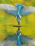 An Adult Male Common Kingfisher, Alcedo Atthis, Dives into the Water Reproduction photographique par Joe Petersburger