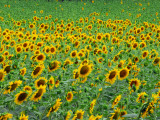Field of Sunflowers in Bloom Photographic Print by Anne Keiser
