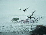 An Elk Carcass Becomes a Snowy Buffet for a Coyote and Two Ravens Lámina fotográfica por Quinton, Michael S.