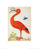 Curlew Catesby (or Scarlet Ibis) Giclée-vedos tekijänä Maria Sibylla Merian