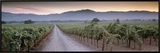 Road in a Vineyard, Napa Valley, California, USA Framed Canvas Print