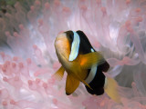 Clark's or Yellow-Tailed Anemonefish, Amphiprion Clarkii Fotografisk tryk af Tim Laman