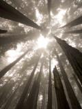 Coast Redwood Trees, Sequoia Sempervirens, in Fog Photographic Print by Phil Schermeister